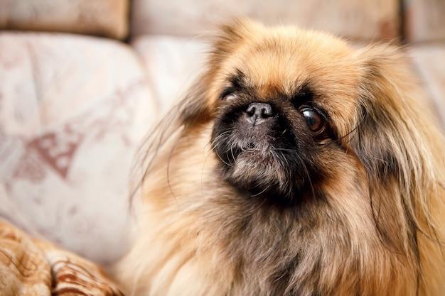 Animale del primo piano del cane di pechinese