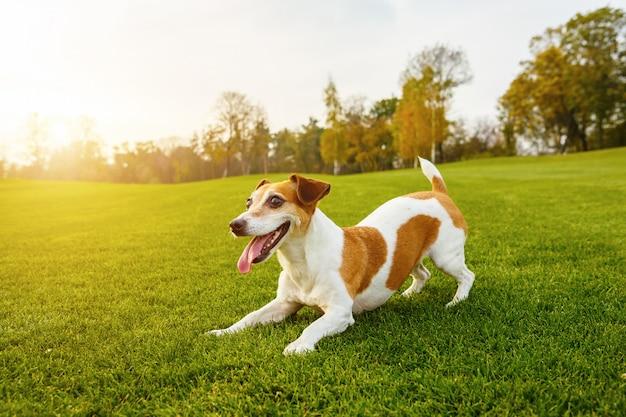 Animale domestico attivo che gioca ballando sull'erba