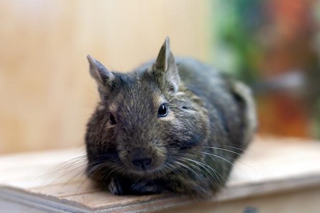 Animale domestico degu rilassante dopo aver mangiato. animale esotico per la vita domestica.
