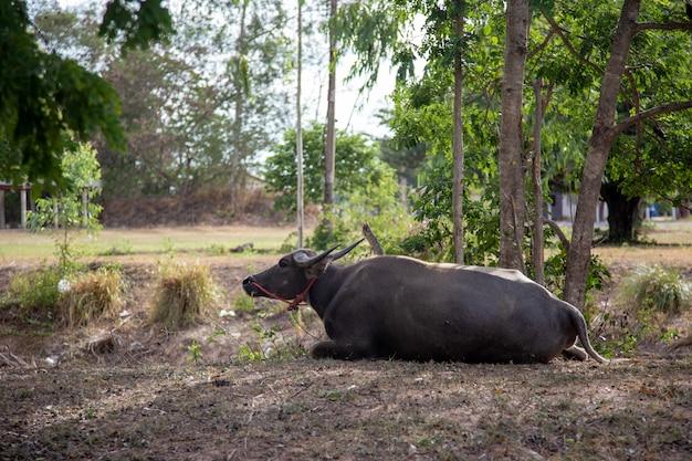 Animale domestico della buffalo che sta sul parco per la vita del righello dell'agricoltore. bufalo