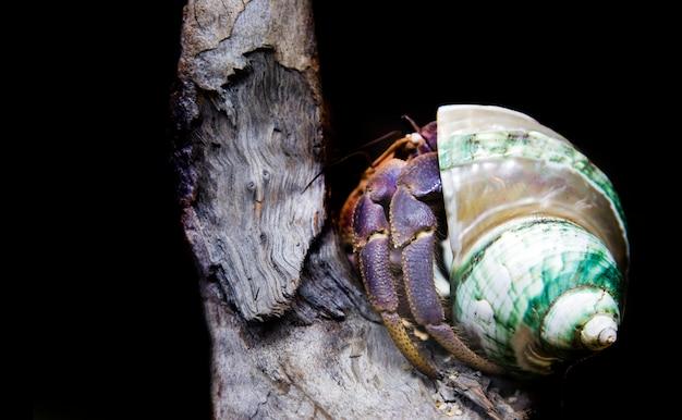 Animale domestico esotico del granchio di eremita