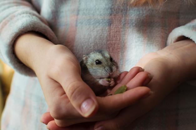 Animale domestico sveglio del criceto che mangia sulla mano di un proprietario.