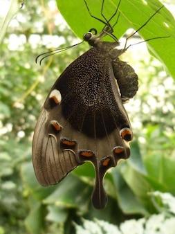 Animale macro farfalla a coda di rondine insetto