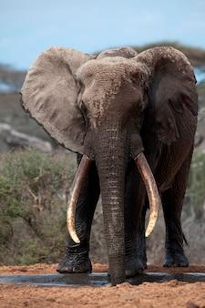 Animali selvatici elefanti in kenya