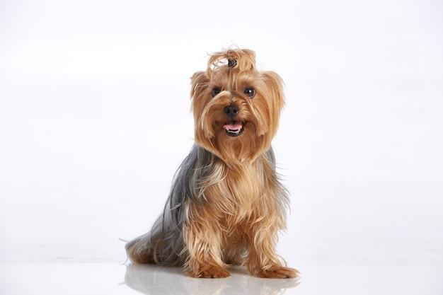 Ansimante piccolo yorkshire terrier sveglio