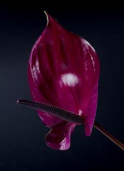 Anthurium rosso scuro contro il nero. sfondo minimalista tropicale