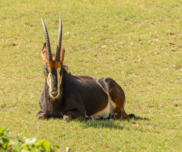 Antilope che pone sulla pianura dell'erba nello zoo di praga