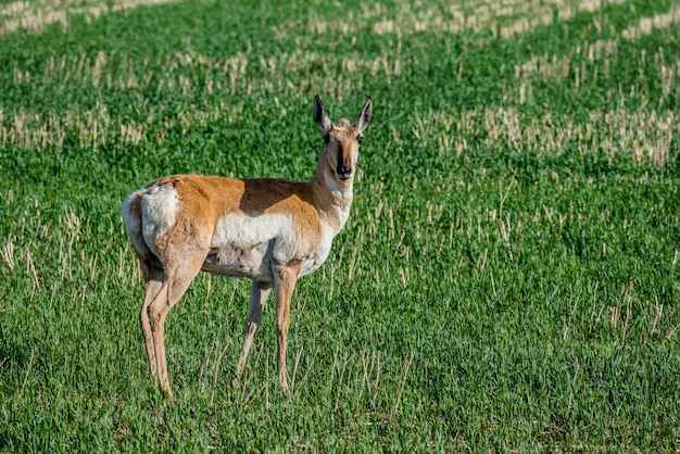 Antilope di pronghorn che pasce in un campo in saskatchewan, canada