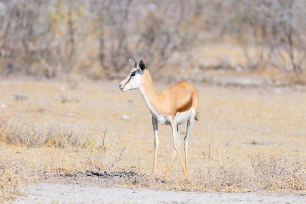 Antilope saltante che pasce nel cespuglio. safari della fauna selvatica nel parco nazionale di etosha, famosa destinazione di viaggio in namibia, africa.