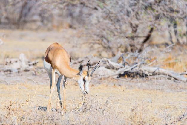 Antilope saltante che pasce nel cespuglio.
