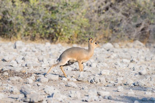 Antilopi di dik-dik madoqua nel cespuglio al parco nazionale di kruger, destinazione di viaggio in sudafrica.