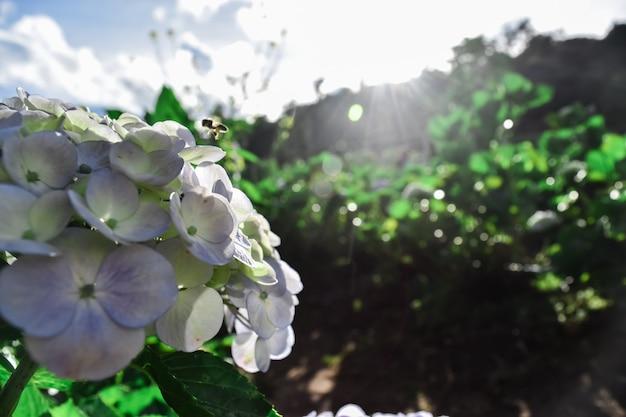 Ape bianca del fiore dell'ortensia (macrophylla dell'ortensia) che fiorisce in primavera ed inverno