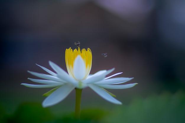 Ape che sorvola il fiore di loto bianco lilly contro la natura della sfuocatura
