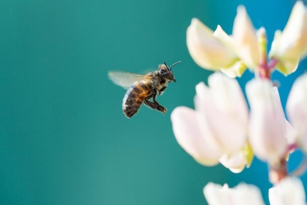Ape del miele che raccoglie polline dai fiori.