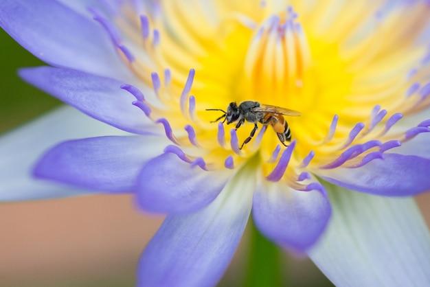 Ape sul fiore di loto