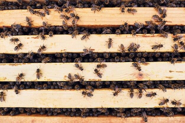 Api da miele in apiario