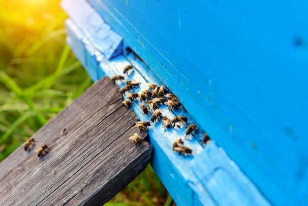 Api del miele nell'entrata blu dell'alveare