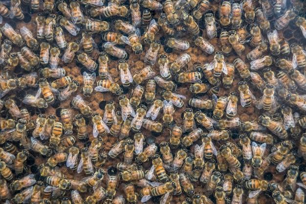 Api di lavoro su cellule di miele, primo piano delle api su sfondo a nido d'ape.