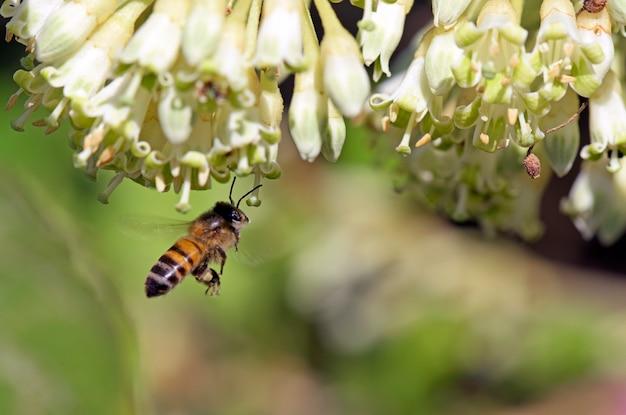 Api mellifera ape che impollina il fiore selvaggio