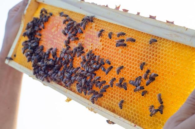 Apicoltore che tiene un favo pieno di api