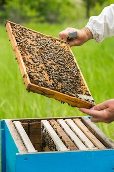 Apicoltore sull'apiario. tirando il telaio dall'alveare. api a nido d'ape. apicoltore che prende il favo dall'alveare