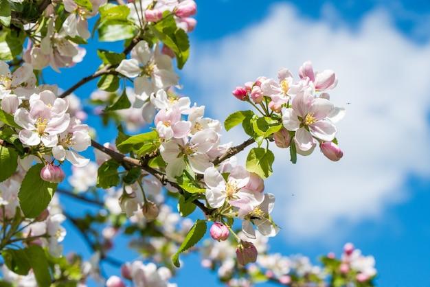 Apple fiorisce alla luce del sole, primo piano.