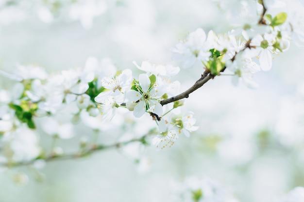 Apple sboccia o fiore di ciliegio in una giornata di sole primaverile