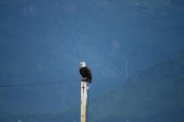 Aquila aquile dalla coda bianca valdez
