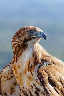 Aquila della coda rossa (buteo jamaicensis)