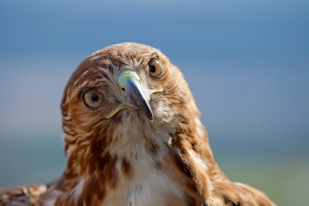 Aquila di coda rossa (buteo jamaicensis)