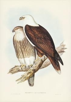 Aquila di mare dal petto bianco (haliaster leucosternus) illustrato da elizabeth gould