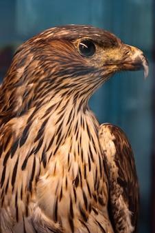 Aquila ritratto