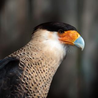 Aquila uccello predatore