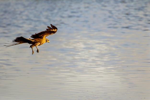 Aquiloni neri (milvus migrans) nel parco nazionale