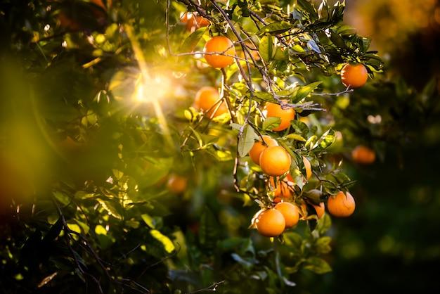 Arance mature caricate con vitamine appese all'arancio in una piantagione al tramonto con raggi di sole in primavera.