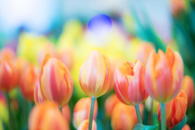 Arancia del tulipano in giardino.