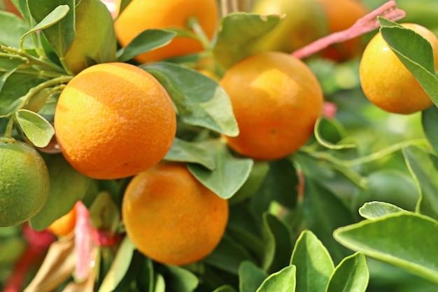 Arancio in giardino