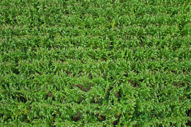 Area agricola che fiorisce i campi di grano verdi della vista superiore aerea dell'agricoltore in tailandia