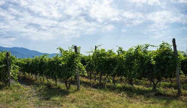 Area vinicola georgiana kakheti