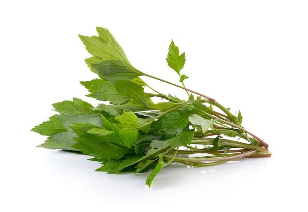 Artemisia bianca isolata