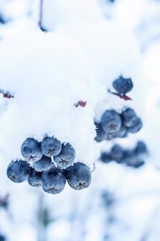 Ashberry nero nella neve in inverno