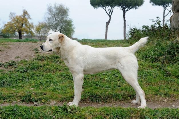 Asia centrale shepherd dog