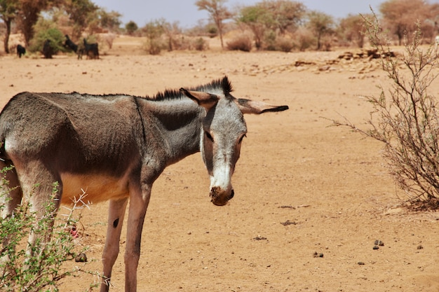 Asino nel deserto del sahara