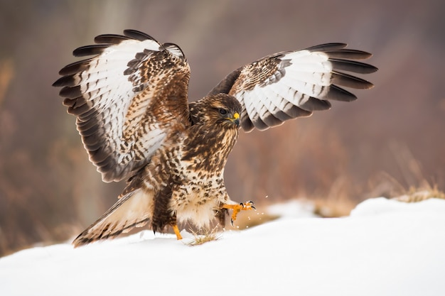 Atterraggio della rapace sul prato innevato con le ali spalancate nell'orario invernale