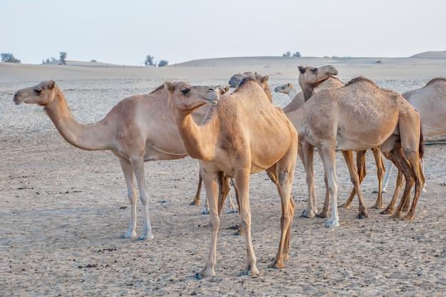 Attrazione di cammelli per i turisti nel deserto degli emirati arabi uniti