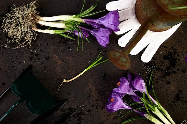 Attrezzi da giardinaggio, giovani piantine, fiore di croco. primavera