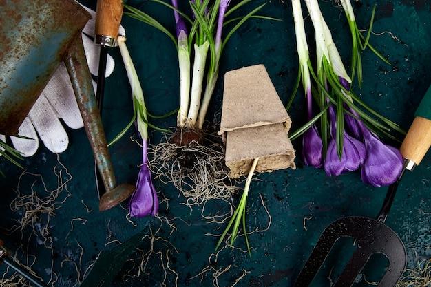 Attrezzi da giardinaggio, vasi di torba, fiori di croco. primavera
