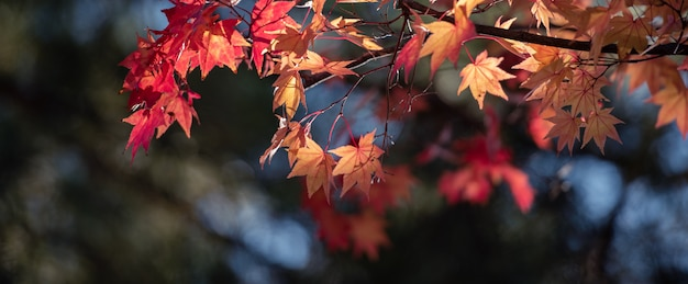 Autumn red maple leaves con il fondo del copyspace.