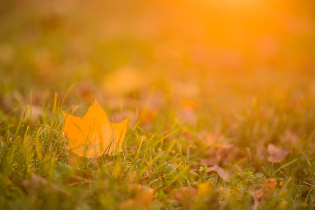 Autunno, autunno, foglie di fondo. un ramo di albero con foglie d'autunno di un acero su uno sfondo sfocato. paesaggio nella stagione autunnale