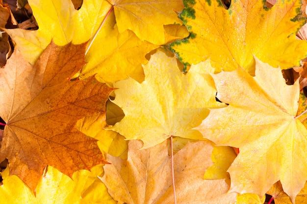 Autunno. le foglie di acero gialle si trovano sull'erba. avvicinamento.